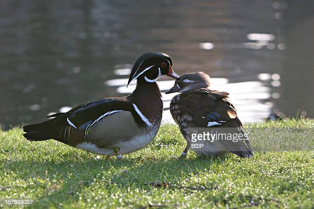 Wood Duck Wood Ducks Picture Taken In Picardy Oise FranceHere A Male And A Female Their Very Different Plumage Enable To Distinguish Them The Wood...