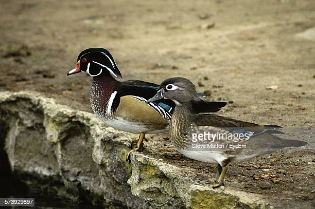 wood ducks perching on rock - steve matten stock pictures, royalty-free photos & images