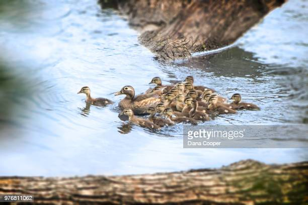 wood ducks (aix sponsa) swimming in stream - sponsa stock photos and pictures