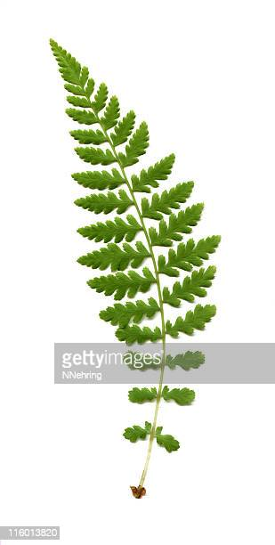 wood fern, Dryopteris Arten