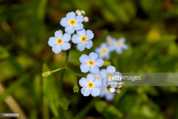 wood forget-me-not - forget me not stock pictures, royalty-free photos & images