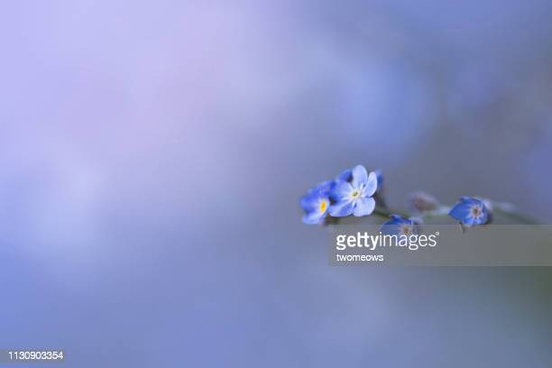 wood forget-me-not spring flowers. - forget me not stock pictures, royalty-free photos & images
