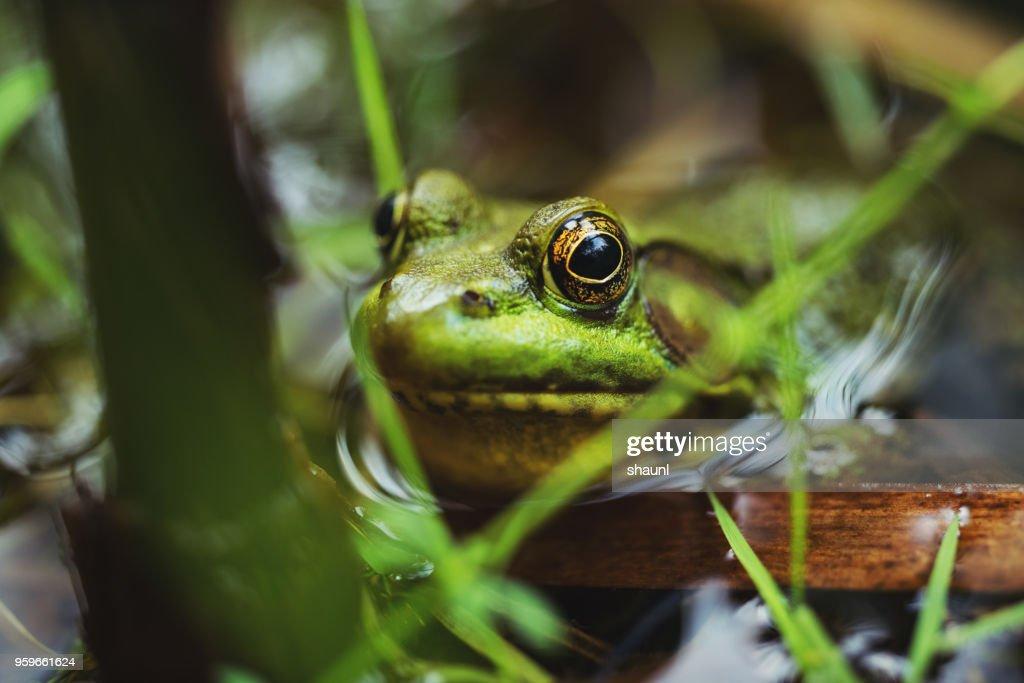 Wood Frog : Stock Photo