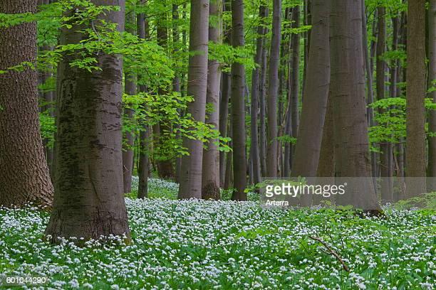 Wood garlic / ramsons / wild garlic flowering in beech forest in spring