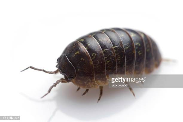 wood louse - potato bug stock pictures, royalty-free photos & images