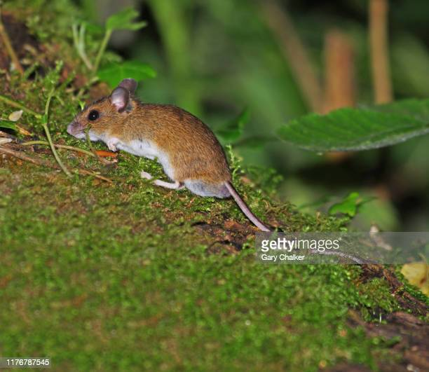 wood mouse [apodemus sylvaticus] - wood mouse stock pictures, royalty-free photos & images