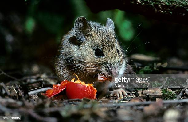Wood mouse eating rosehip