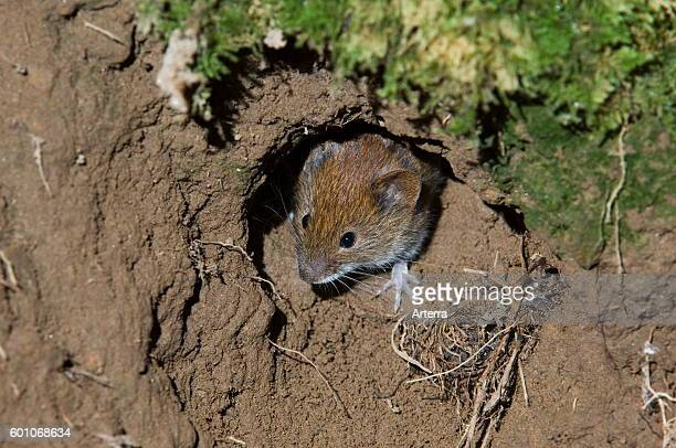 Wood mouse head emerging from nest while leaving burrow