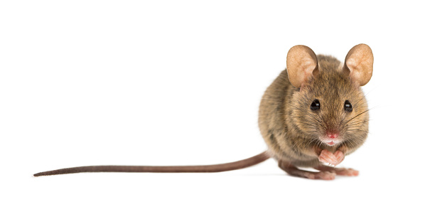 Wood mouse in front of a white background 508256600