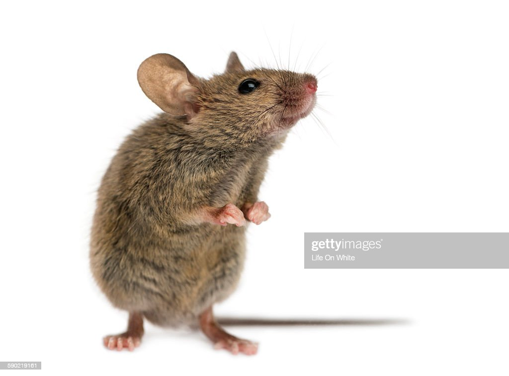 Wood mouse in front of a white background : Stock Photo
