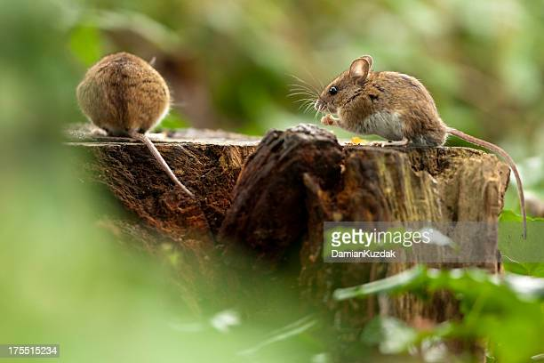wood mouse in habitat - field mouse stock photos and pictures