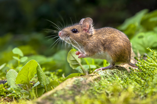 Wood mouse on root of tree 492696926
