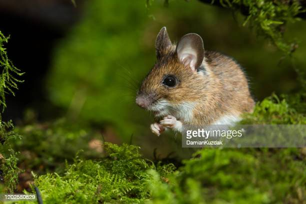 wood mouse - field mouse stock pictures, royalty-free photos & images