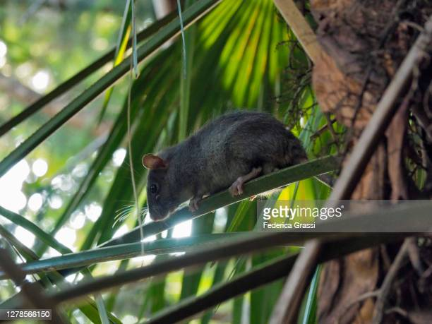 wood mouse (apodemus sylvaticus) - (part of a series) - field mouse stock pictures, royalty-free photos & images