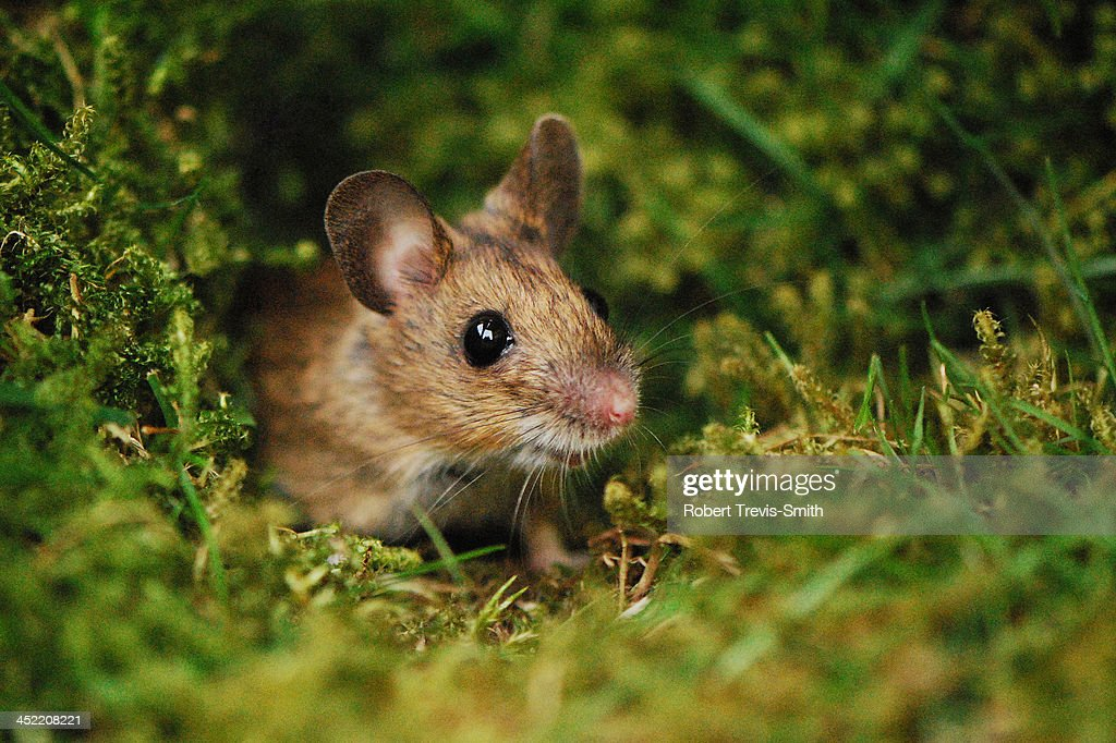 Wood mouse : Stock Photo