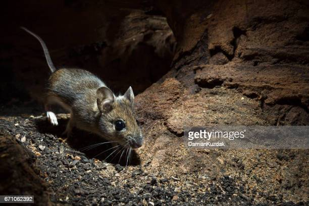 wood mouse (apodemus sylvaticus) - field mouse stock photos and pictures