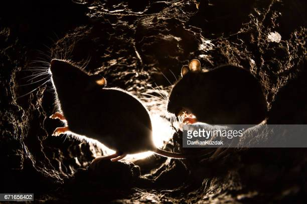 wood mouse (apodemus sylvaticus) - pest stock photos and pictures
