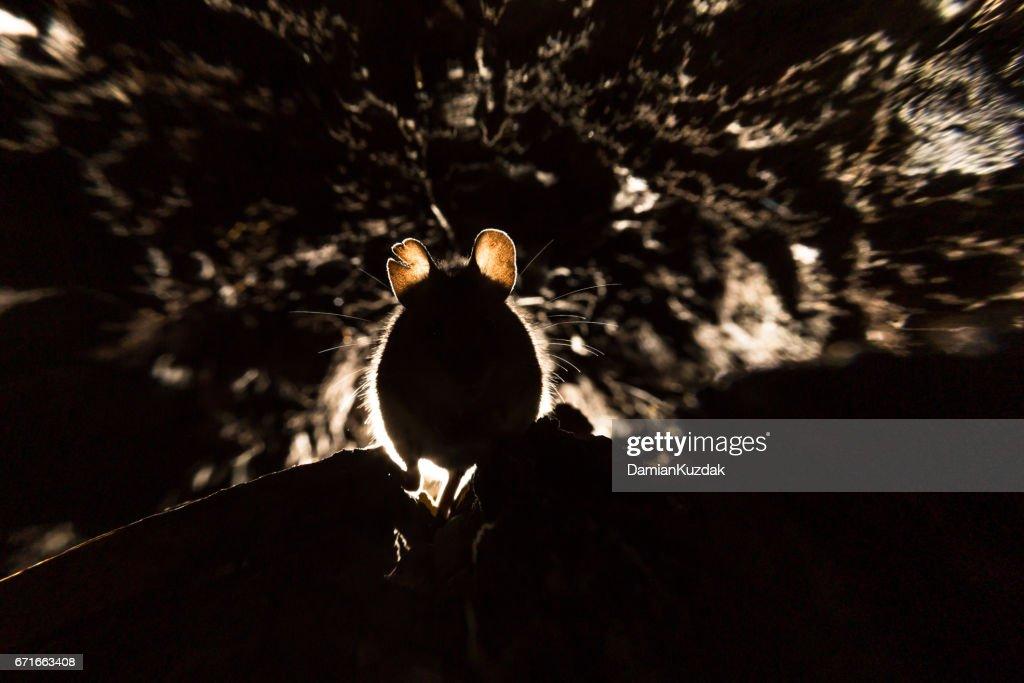 Wood Mouse (Apodemus sylvaticus) : Stock Photo