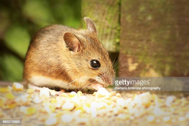 wood mouse - wood mouse stock pictures, royalty-free photos & images