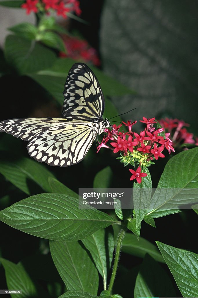 Wood nymph butterfly on flowering plant : Stockfoto