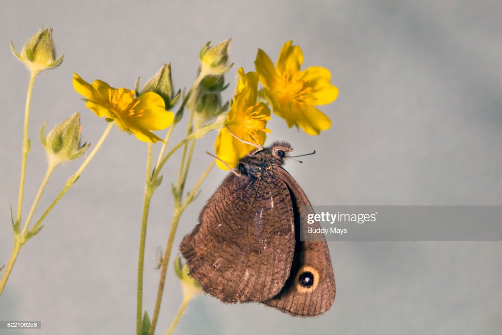 Wood Nymph Butterfly : Stock Photo
