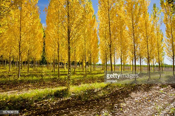 Wood of Poplars