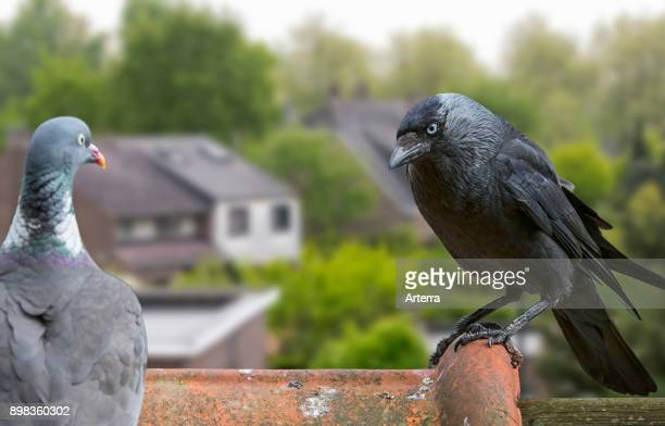 Wood pigeon and European jackdaw perched on roof tile of house in village
