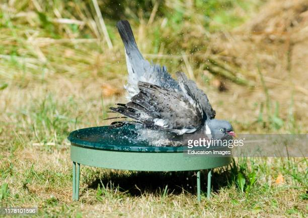 Wood Pigeon Columba palumbus bathing in bird bath in yard Norfolk UK summer