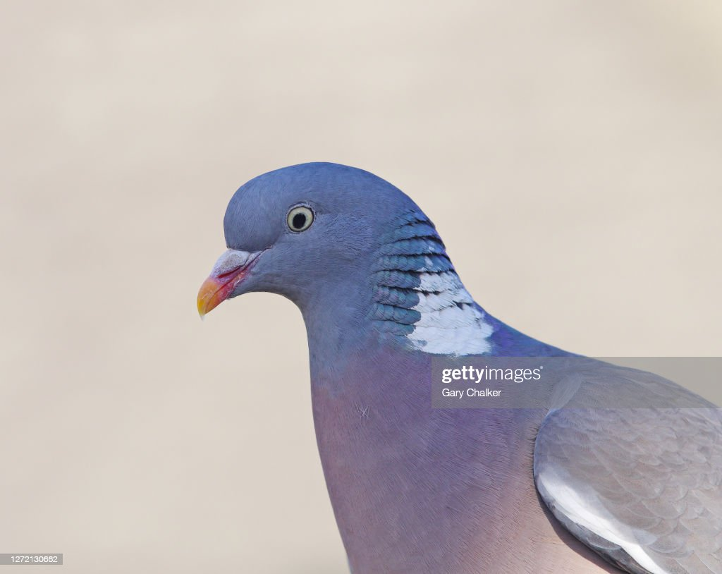 Wood Pigeon [Columba palumbus] : Stock Photo