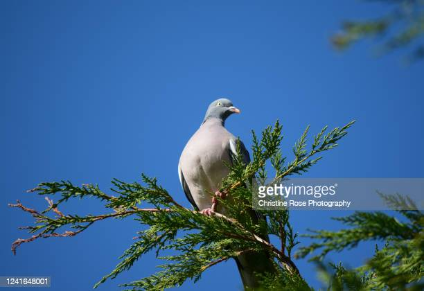 wood pigeon on top of the tree - pigeon stock pictures, royalty-free photos & images