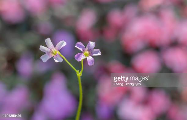 wood sorrel on colorfull background - lavender plant stock pictures, royalty-free photos & images