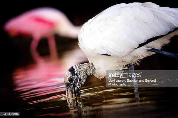 Wood Stork and Roseate Spoonbill Against Dark Background