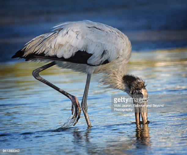 Wood Stork Feeding Against Blue Water
