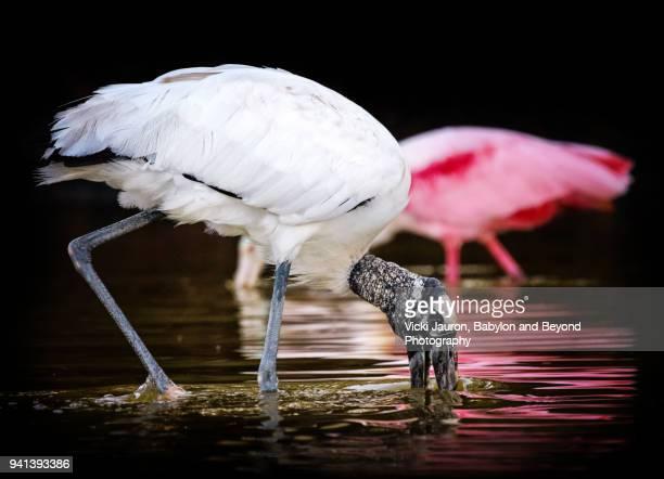Wood Stork Feeding in Water Against Roseate Spoonbill