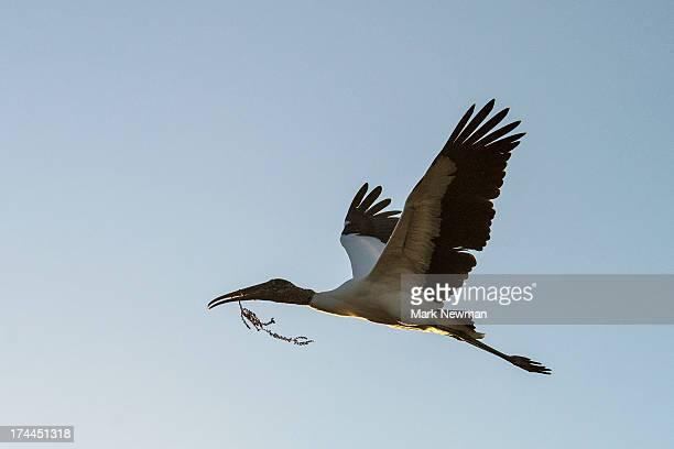 Wood stork flying