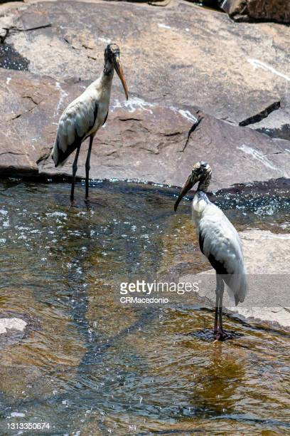 wood stork on the piracicaba river. - crmacedonio photos et images de collection
