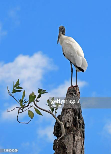 wood stork (mycteria americana) perched on a tree stump with a growing strangler fig - animal behavior stock pictures, royalty-free photos & images