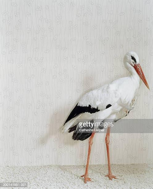 Wood Stork (Mycteria Americana) standing in front of wallpaper