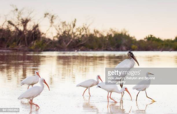 a wood stork with a group of ibis and a snowy egret - fort myers beach stock pictures, royalty-free photos & images