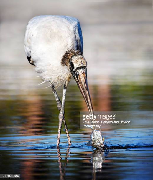 Wood Stork with Fish in Beak at Fort Myers Beach, Florida