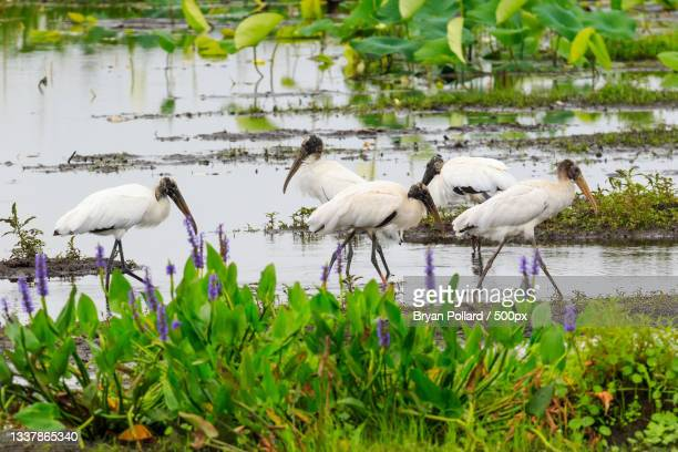 wood storks in freshwater marsh,paynes prairie state park,united states,usa - florida us state stock pictures, royalty-free photos & images