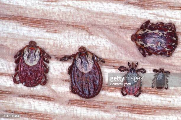 wood tick and deer tick comparison - dog tick stock pictures, royalty-free photos & images