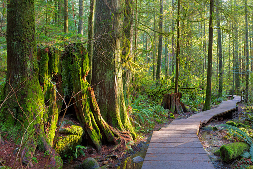 Wood walkway path hiking trail through forest in Lynn Canyon Park in the municipal of BC Canada 897668234