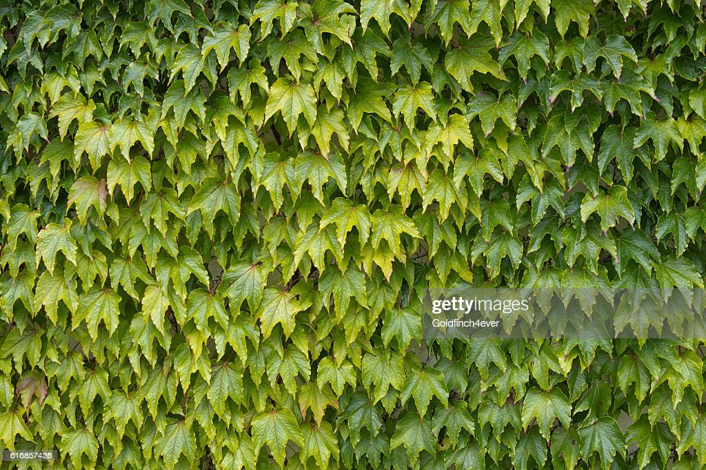 Woodbine aka Japanese ivy, climbing vine. : Stock Photo