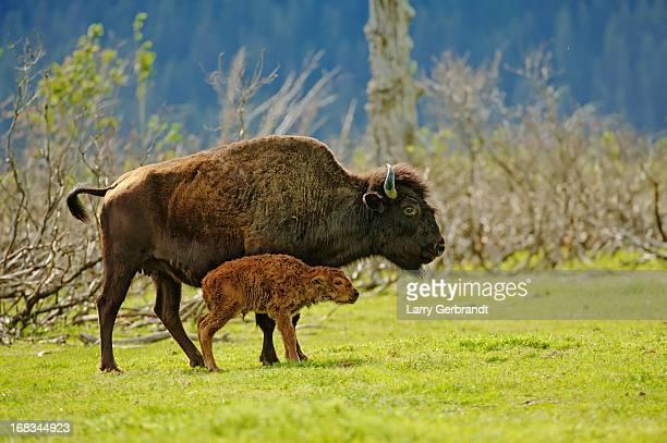 WoodBisonNewborn-Alaska
