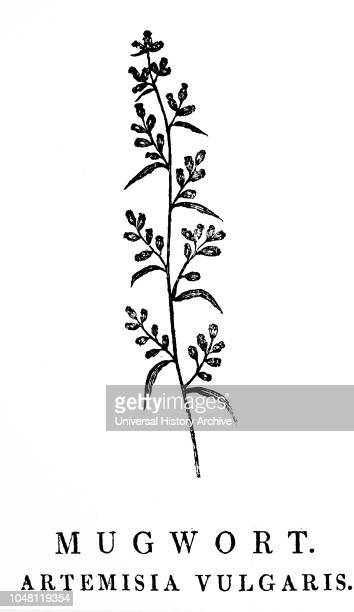 A woodblock engraving depicting a sprig of Mugwort a species of aromatic plants in the genus Artemisia Woodcut by Thomas Bewick an English engraver...