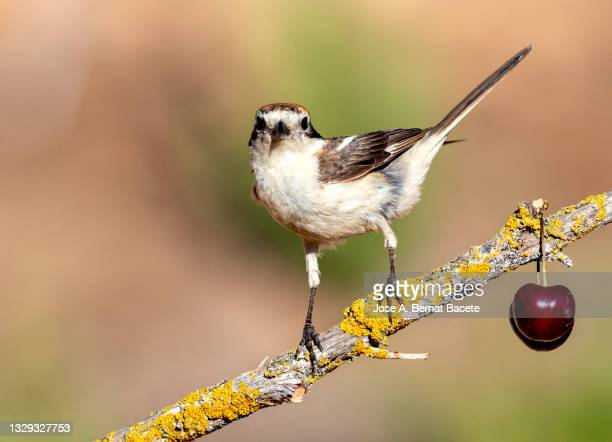 woodchat shrike (lanius senator), bird perched on a branch in nature. - member of congress stock pictures, royalty-free photos & images