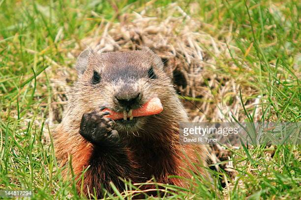 Woodchuck in hole eating carrot