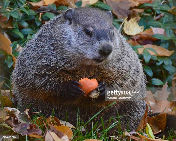 woodchuck or groundhog chews on apple slice - funny groundhog stock photos and pictures
