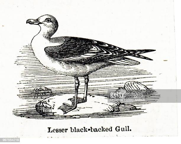 Woodcut engraving depicting a Lesser BlackBacked Gull Dated 19th century